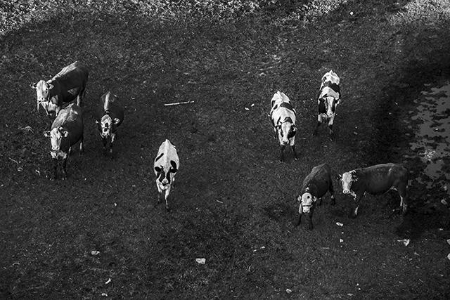 cows_blog